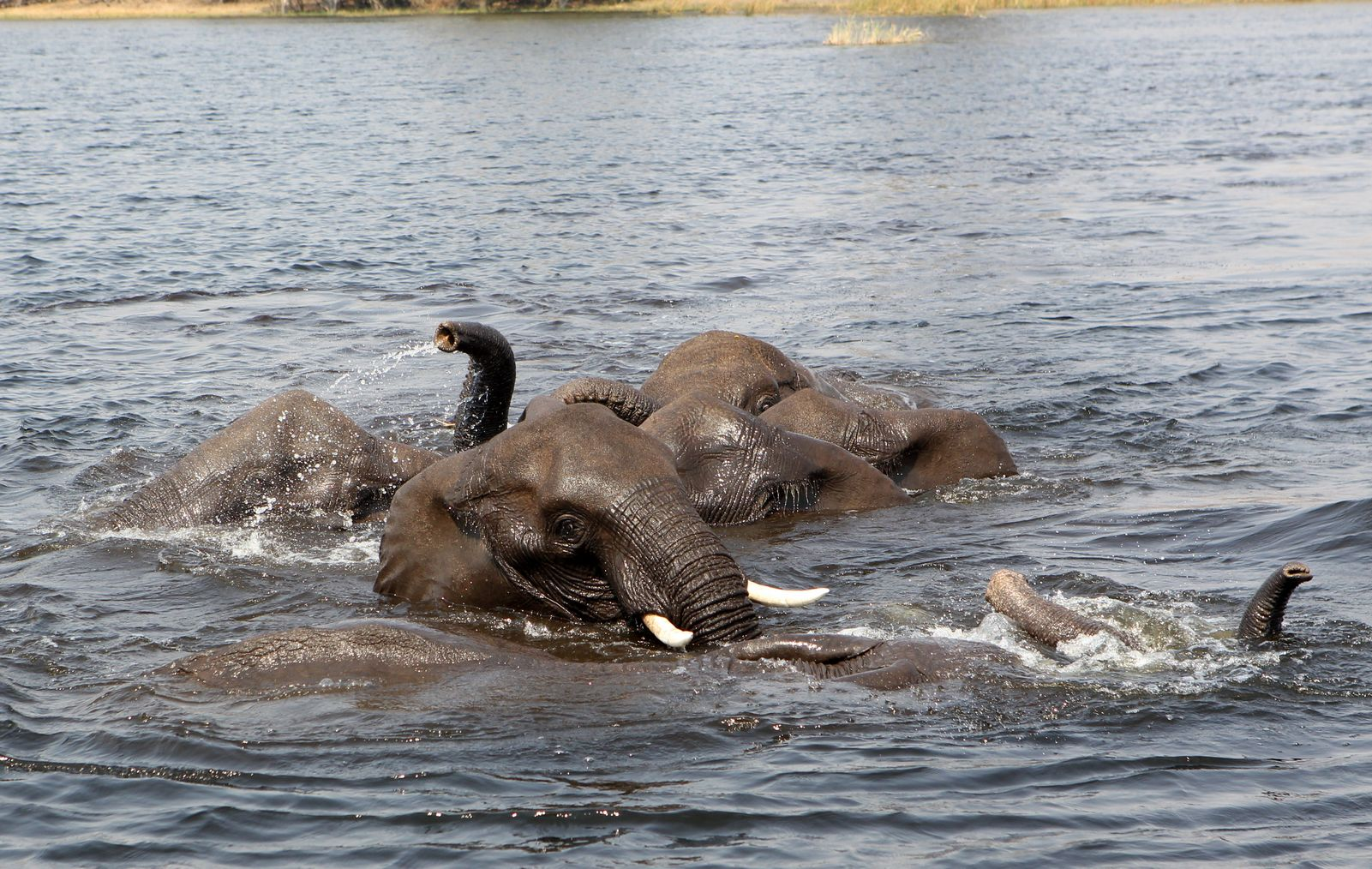Elephants in the lagoon 1