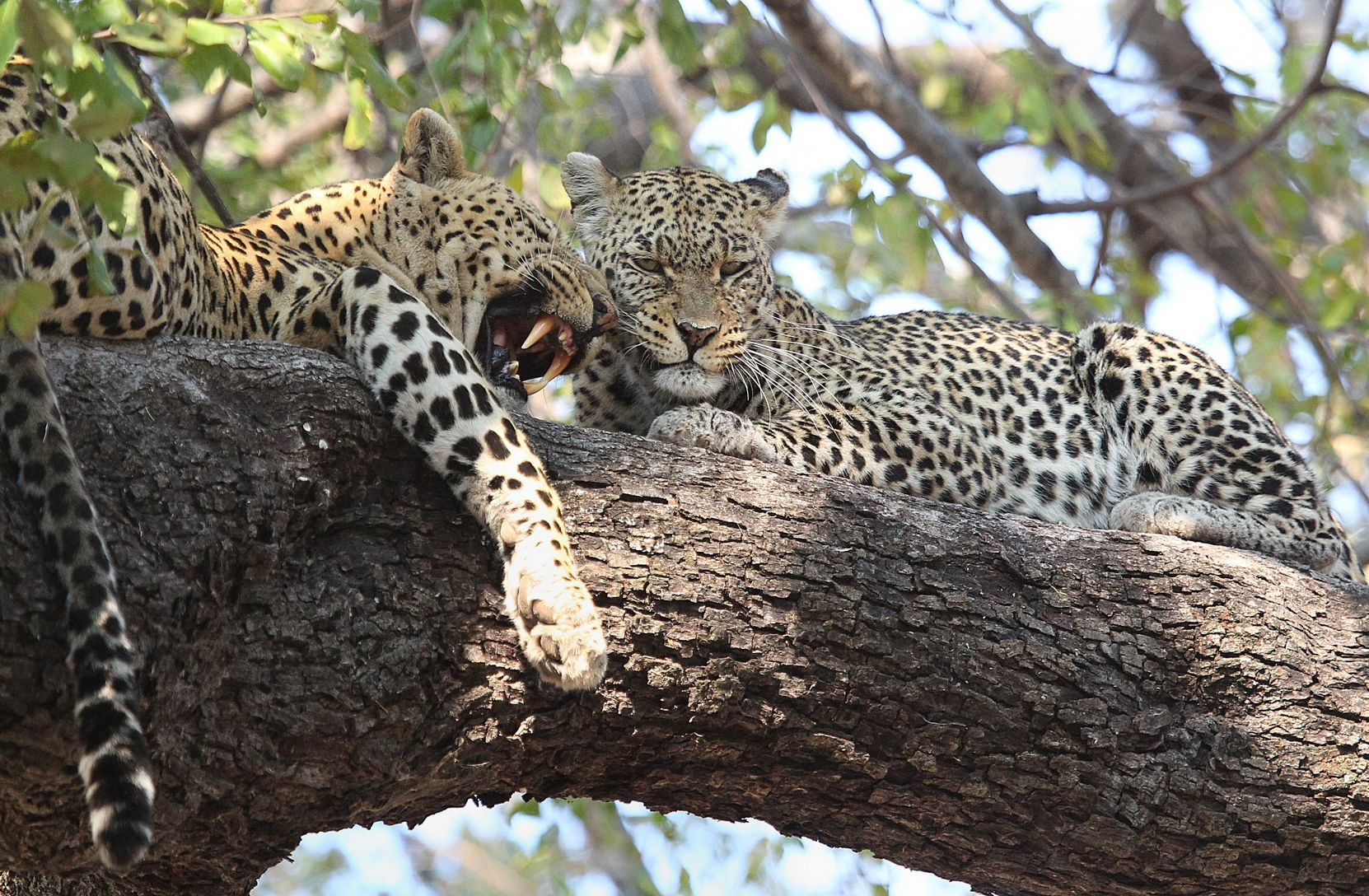 Leopards 1