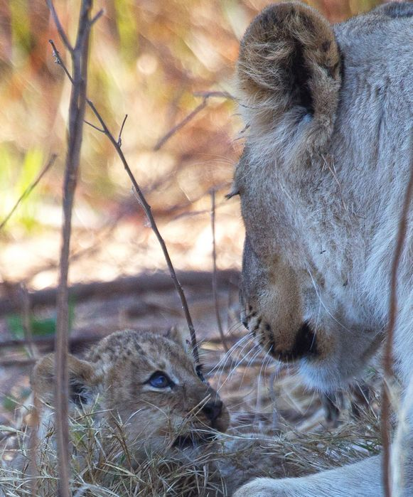 Lion cub with lioness 1